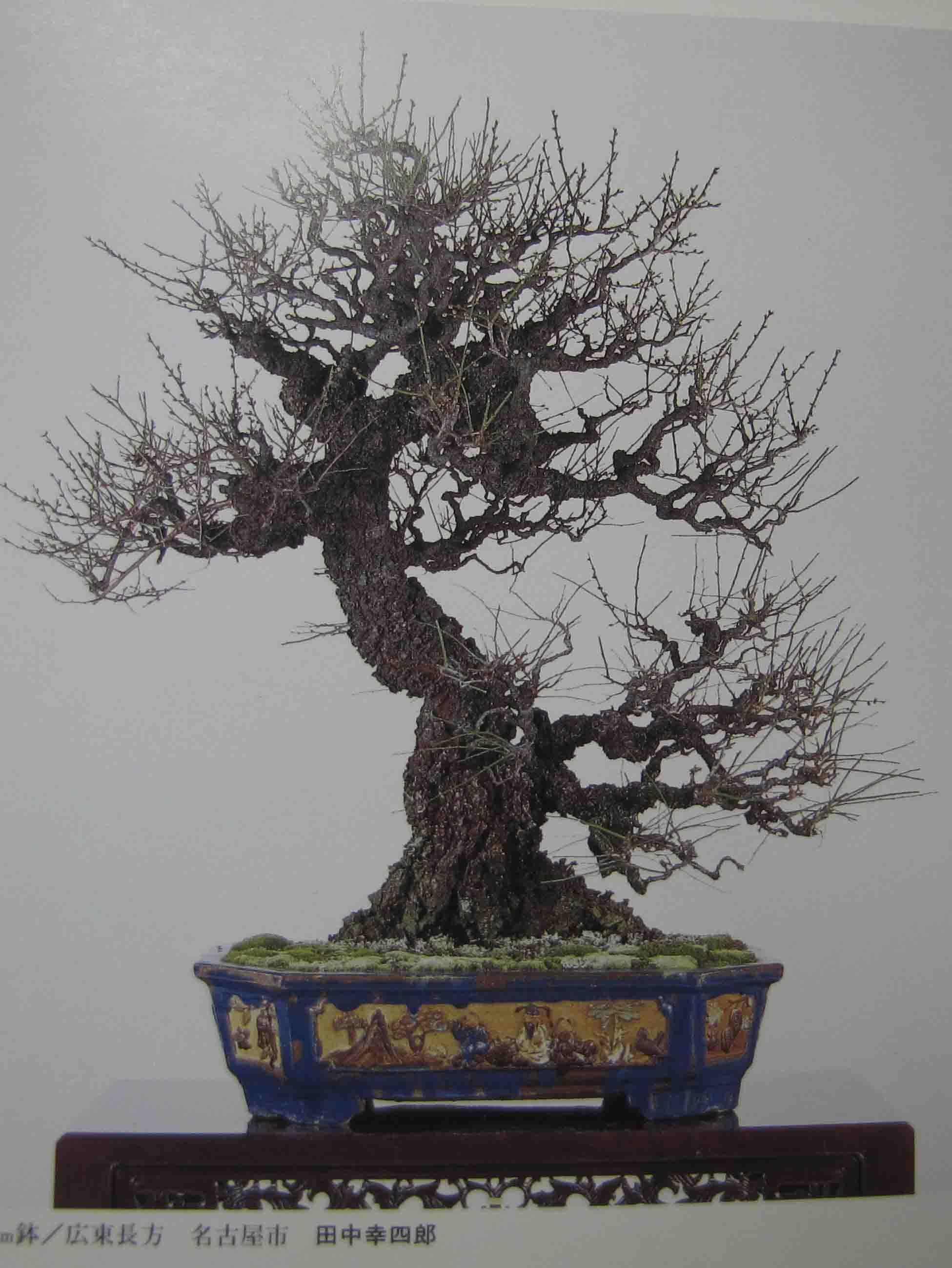 1000 images about bonsai deciduous on pinterest Flowering Plum Bonsai Deciduous Trees